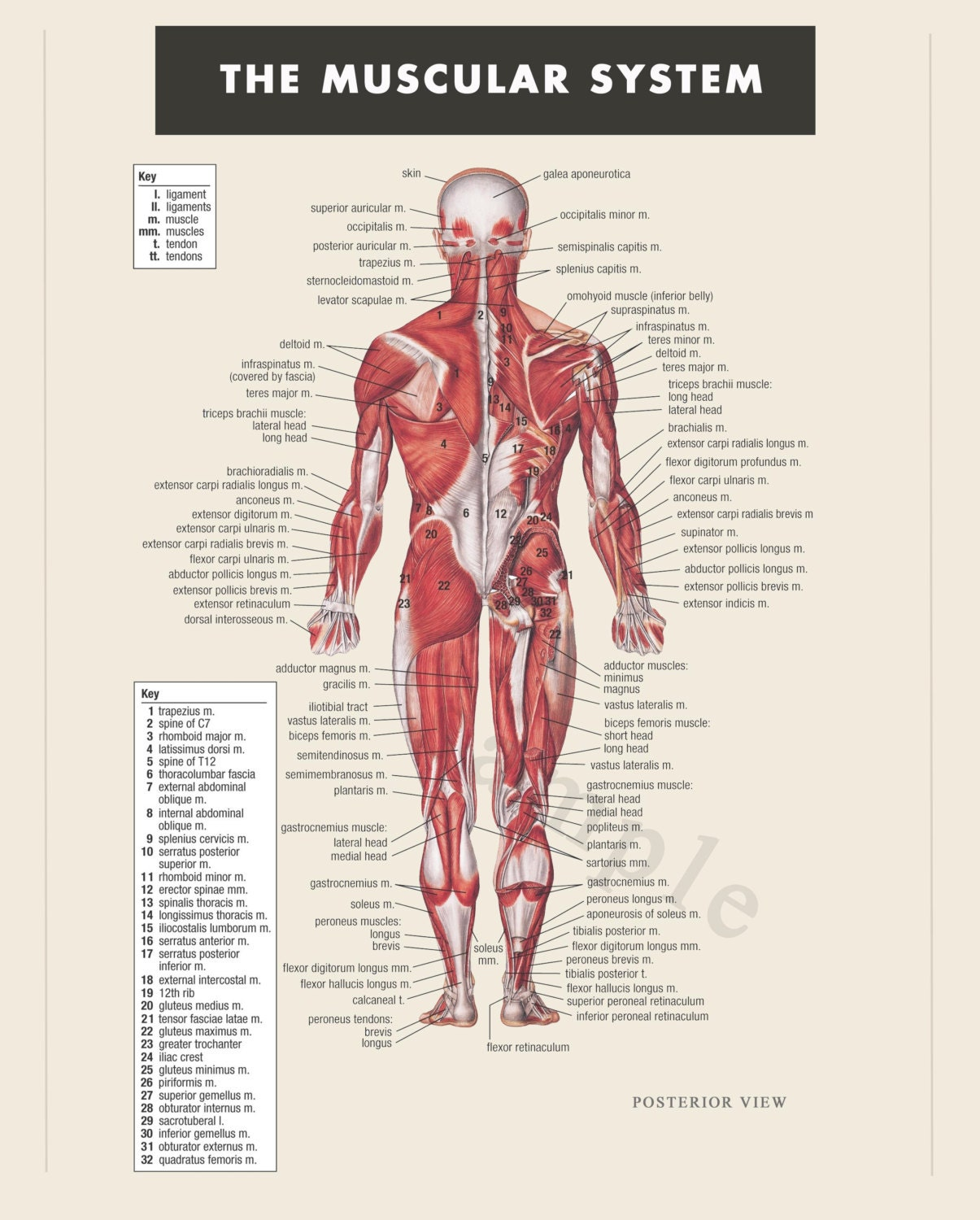 muscles of the body pdf