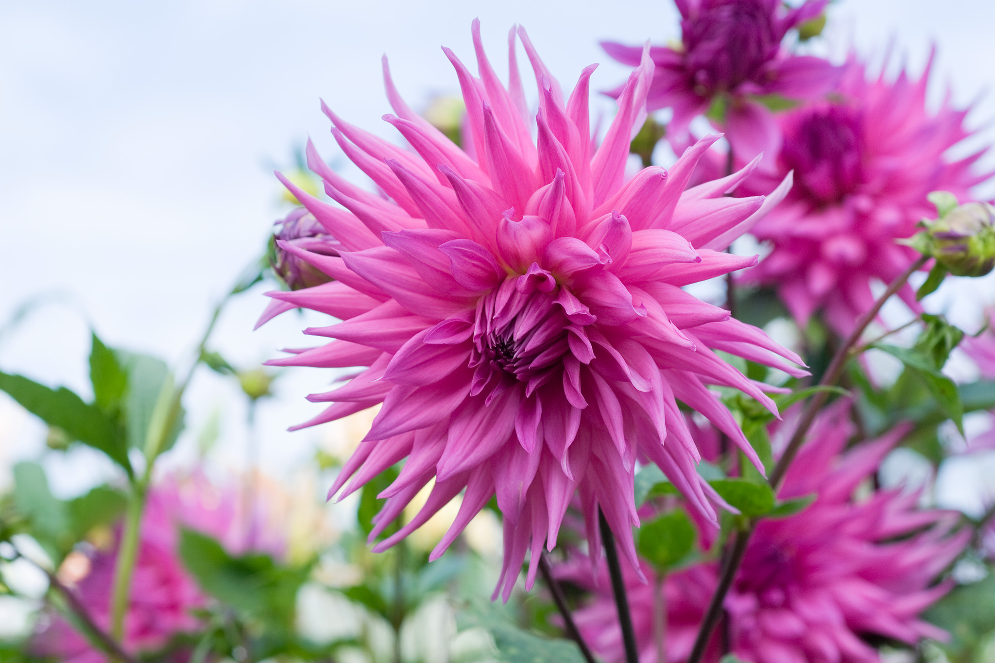 tree dahlia planting instructions